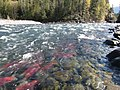 Salmon run at Adams River 2010 (5074659648).jpg