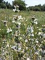 Salvia aethiopis sl2.jpg