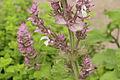 Salvia sclarea 'Euphoria'-IMG 4340.jpg