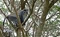 Samango Monkey (Cercopithecus albogularis) (32761693538).jpg