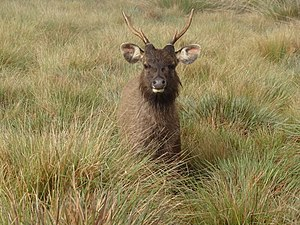 Horton Plains National Park - Sri Lankan sambar deer occur in large herds