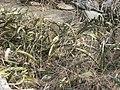 Sansevieria scimitariformis Mount Panda 3 (10962073176).jpg