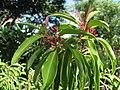 Santalum freycinetianum (5210107874).jpg