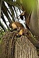 Sapajus apella apella (French Guyana) 3.jpg