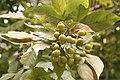 Sapindus Saponaria - Fruit 02.jpg