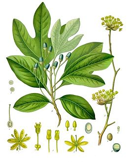 Sassafras albidum - Köhler–s Medizinal-Pflanzen-260