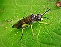 Sawfly Tenthredo temula (43762400441).jpg