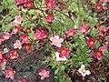 Saxifraga decipiens Pink V08 H3995.jpg