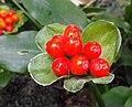 Scadoxuspuniceus.jpg