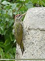 Scaly-bellied Woodpecker (Picus squamatus) (47537358271).jpg