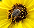 Scarab beetle on Encelia californica (3376142862).jpg
