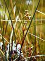 Scheuchzeria palustris Südtannenmoor 0587.jpg
