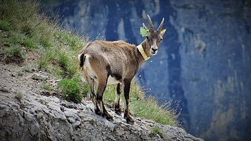 Scientific monitoring of ibex in Vanoise National Park, France (5).jpg