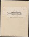 Scomber microlepidotus - 1700-1880 - Print - Iconographia Zoologica - Special Collections University of Amsterdam - UBA01 IZ13500190.tif