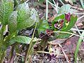 Scopolia carniolica - Flickr - peganum.jpg
