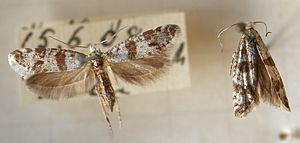 Scythropia crataegella - Adult specimen