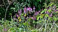 Securidaca diversifolia (L.) S. F. Blake - Flickr - Alex Popovkin, Bahia, Brazil (8).jpg