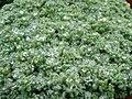 Sedum dasyphyllum (1) 2.JPG