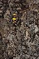 Sedum spathulifolium 4910.JPG