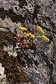 Sedum spathulifolium 4911.JPG