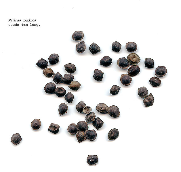Figure 9: Seeds of M. pudica (Hardyplants, 2008)