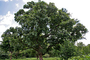 Markfruchtbaum (Semecarpus anacardium)