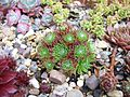 Sempervivum Arachnoidium Hookerii (5004343174).jpg
