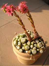 Sempervivum arachnoideum flowers 2.png