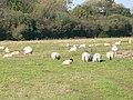 Sheep grazing near Bilmarsh - geograph.org.uk - 594661.jpg