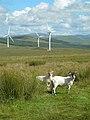 Sheep on Craig Hill - geograph.org.uk - 506303.jpg