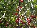 Shepherdia argentea (5199898851).jpg