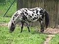 Shetland.pony-01-Castolovice.jpg