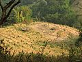 Shifting cultivation Swidden Slash Burn Manmao IMG 9074.jpg