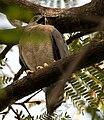 Shikra (Accipiter badius) calling in Hyderabad W IMG 8229.jpg