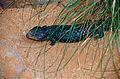 Shingleback Lizard (Tiliqua rugosa) (10106648163).jpg