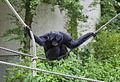 Siamang (Symphalangus syndactylus), Tierpark Hellabrunn, Múnich, Alemania, 2012-06-17, DD 07.JPG