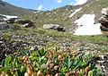 Sibbaldia procumbens habitat Valais.JPG