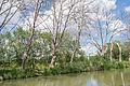 Sick Platanus ×hispanica trees, Canal du Midi, Agde.jpg