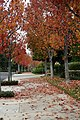 Sidewalk view in autumn at Irvine California.jpg