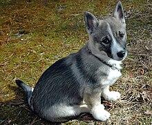 Swedish Vallhund - Wikipedia