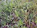 Silene vulgaris Habitat 11April2009 CampodeCalatrava.jpg