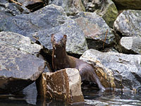 a6f06138dfe American mink emerges from a pond.