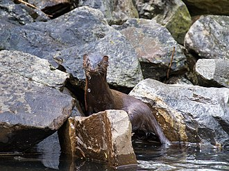 American mink - American mink emerges from a pond.