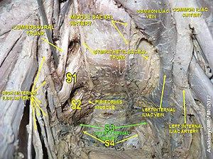 Sacral spinal nerve 3 - Image: Slide 20y
