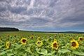 Slunečnicové pole, Kuželov, okres Hodonín.jpg