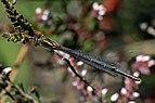 Small red damselfly (Ceriagrion tenellum) female form melanogastrum 2.jpg