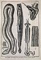 Snake anatomy; ventral view of snake with scales; ventral vi Wellcome V0022731.jpg