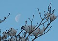 Snow ^ Moon - Flickr - joka2000.jpg