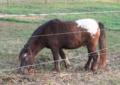 Snowcap Pony.png