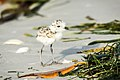 Snowy Plover chick on the beach, Florida (125296599).jpg